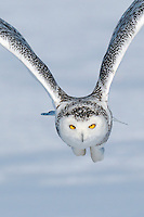 A snowy owl flying low over a snowy-covered field towards a rodent