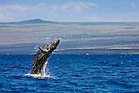 humpback whale, Megaptera novaeangliae, baby breaching, Hawaii, Pacific Oce