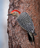 Red-Bellied Woodpecker clinging to tree trunk