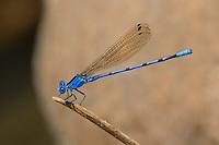 338430010 a wild male california dancer argia argioides perches on a dead stick along piru creek near frenchmans flats los angeles county california united states