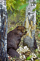 Beaver (Castor canadensis) cutting aspen tree, fall.