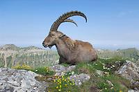 Alpine Ibex (Capra ibex) adult among flowers,Niederhorn, Interlaken, Switzerland