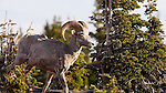 A male bighorn sheep stands among the trees in Glacier National Park, Montana.