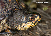 1002-0806  Close-up of Head of Male Eastern Box Turtle, Terrapene carolina © David Kuhn/Dwight Kuhn Photography.