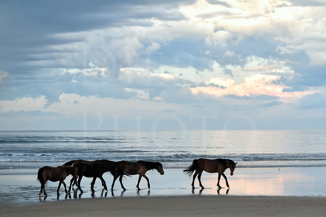 These five wild horses walking down the beach at the surf line live in Currituck National Wildlife Refuge just above the end of the road in the Outer Banks at Corolla, North Carolina. From that point, only four wheel drive can take you where these animals roam the dunes as there are no paved roads. You can drive along the beach another 12 miles to the Virginia line, in addition to a few very sandy inroads into the dunes. At both ends there are fences and a cattle guard at the end of the Corolla hard road, to keep them from wandering on the highways to the south and into heavily developed areas.<br /> <br /> How long have the &ldquo;banker ponies&rdquo; been here and where did they come from? No one knows, but the two best guesses have the horses as Spanish shipwreck descendants or escaped farming horses and the actual answer may be both and more. They have cousins in groups to the north and south through the Outer Banks region, and all the horses at both locations are noticeably short which makes them more accurately classed as ponies.<br /> <br /> In this image taken in blue dusk light, a stallion is leading his harem string of four mares along the wet edge of the waves and threads between the tidal pools left by the low tide. He looks back to see if the mares are forming up their natural string after it was disrupted; if the string is broken up, it isn't long until they reform as they are here. Hierarchy is very important to all horses and the pecking order never changes unless there is some squabbling that rearranges it. Most people don't know that in the horse world, all remains very orderly and predictable between hierarchy spats. I've always enjoyed watching herd behavior sitting on a pasture fence overlooking domestic herds, but here it was very interesting chance to watch these feral horses in their natural setting.<br /> <br /> The title Ist Der Kommen is Pennsylvania Dutch for &ldquo;Are you coming?&rdquo; and I've heard the Amish use the phrase. It is not