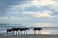 These five wild horses walking down the beach at the surf line live in Currituck National Wildlife Refuge just above the end of the road in the Outer Banks at Corolla, North Carolina. From that point, only four wheel drive can take you where these animals roam the dunes as there are no paved roads. You can drive along the beach another 12 miles to the Virginia line, in addition to a few very sandy inroads into the dunes. At both ends there are fences and a cattle guard at the end of the Corolla hard road, to keep them from wandering on the highways to the south and into heavily developed areas.<br />