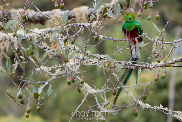 Resplendent quetzal (Pharomachrus mocinno) bird perched on a tree branch, San Gerado de Dota, Costa Rica