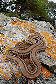 A Four-lined Snake (Elaphe quatuorlineata) on a rock, Croatia.