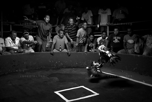 Residents of Chitre, Panama gather every weekend to watch fighting cocks battle each other.  While the sport is neither legal or illegal, authorities seem to turn a blind eye as the brutal sport runs deep in Panamanian traditions. Photo taken Saturday, January 5, 2008. Kevin German / kevin@kevingerman.com