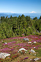 OR01669-00...OREGON - Brightly colored paintbrush and heather in a meadow along the McNeil Point Trail in the Mount Hood Wilderness area with a view of Mount Rainier and Mount Adams.