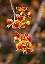 Bittersweet grows wild in Acadia National Park in Maine..