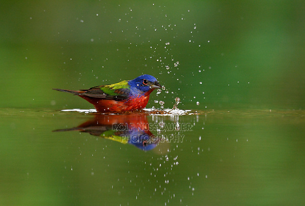Painted Bunting, Hill Country, Texas