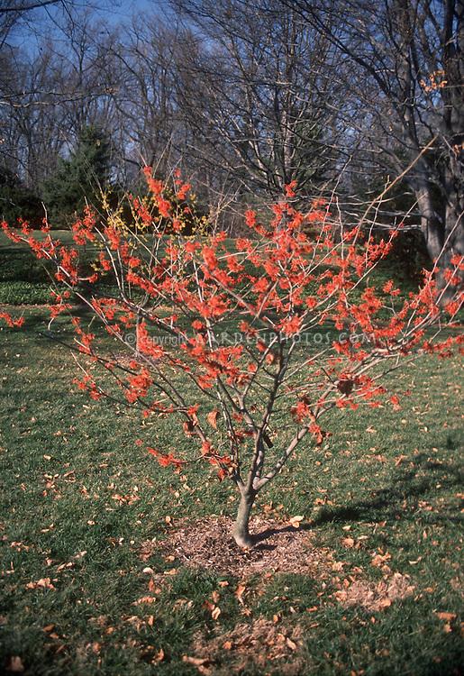Witch hazel Ruby Glow, Hamamelis x intermedia Ruby Glow in early spring / late winter tree flower