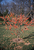 Witch hazel Ruby Glow, Hamamelis x intermedia Ruby Glow in early spring / late winter tree flower