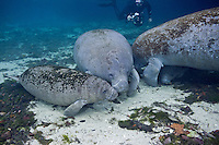 RQ0023-D. Florida Manatees (Trichechus manatus latirostris), two mothers and two calves, with underwater photographer in background. Florida, USA.<br /> Photo Copyright &copy; Brandon Cole. All rights reserved worldwide.  www.brandoncole.com
