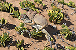 Namaqua chameleon (Chamaeleo namaquensis) attempting to mate with remains of rival male killed in fight, Namib desert, Namibia, Africa (May 2013)