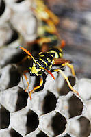 Common Wasp (Vespula vulgaris) adult on nest, Normandy, France.