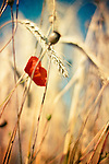 Poppy flower and wheat with shallow dof<br />