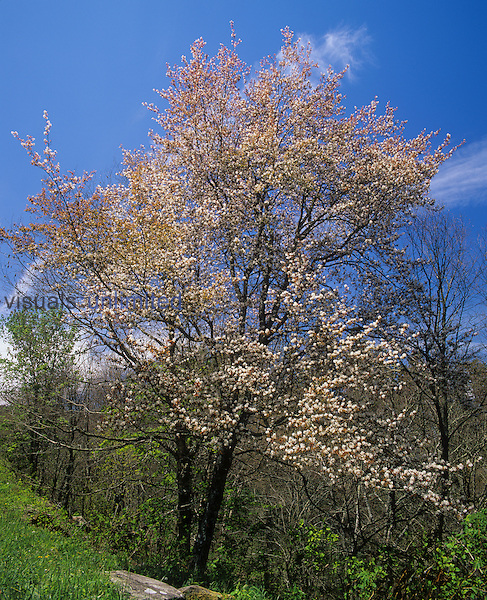 Downy Serviceberry Tree ,Amelanchier arborea, in full bloom, Eastern North America.
