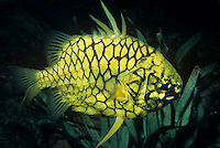 Pinecone Fish (Monocentris gloriamaris), a bioluminescent species due to symbiotic bacteria (Vibrio), Australia....
