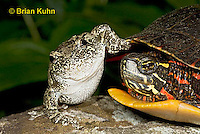 1R24-9073  Eastern Gray Treefrog - with painted turtle - Hyla chrysoscelis or Hyla versicolor,  © Brian Kuhn/Dwight Kuhn Photography
