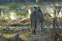 A lioness (panthera leo) stops and listens during her walk to the river for the morning drink.<br /> The Khwai side of Moremi in the Okavango Delta, Botswana.<br /> September 2007.