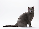 Chartreux Cat - Male 2 1/2 years old
