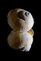 Roman snail (Helix pomatia) shell. Reflected in mirror.