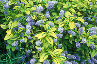 Ceanothus 'Zanzibar' in blue flowers with variegated foliage leaves