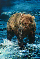 609682039 a wild adult brown or grizzly bear ursus arctos walks in a river looking for salmon in katmai national park alaska
