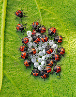 Harlequin bugs emerging from eggs attached on plum leaf in Portland, Oregon