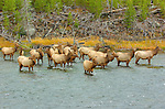 Female Elk Herd crossing Madison River, Yellowstone National Park, Wyoming