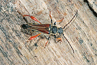 Braunrötlicher Spitzdeckenbock, Spitzdecken-Bock, Stenopterus rufus, Longhorn Beetle