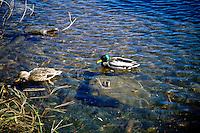 BIRDS<br /> Male &amp; Female Mallard Ducks<br /> Lake Tahoe, NV