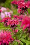 bright pink phlox and bee balm