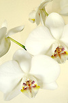 White Orchid's