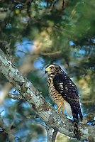 542170006 a wild roadside hawk buteo magnarostris perches on a tree limb in a tall tree on a private ranch in tamaulipas state mexico