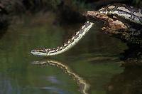 458034004 a captive carpet python moreilia spilotes variegata crawls along a small pond - reptile is a captive animal