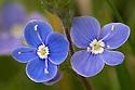 Germander Speedwell flowers {Veronica chamaedrys}. Peak District National Park, Derbyshire, UK. May.