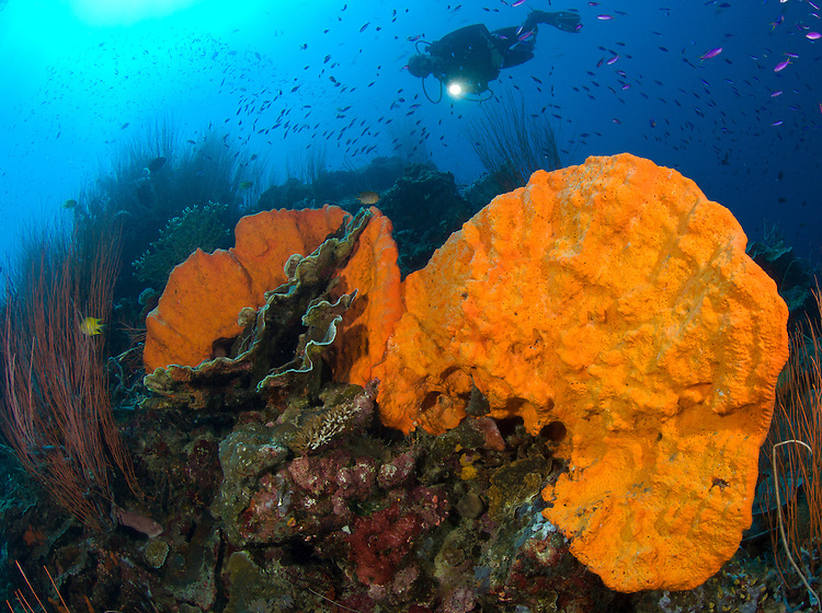 bright orange sponge with diver and torch, kimbe bay