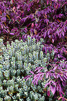 Leaf foliage texture of Hebe albicans 'Red Edge' with purple leaf Loropetalum chinense v. Rubrum ' Burgundy' in San Francisco Botanical Garden