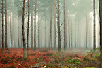 Pine trees in mist at dawn
