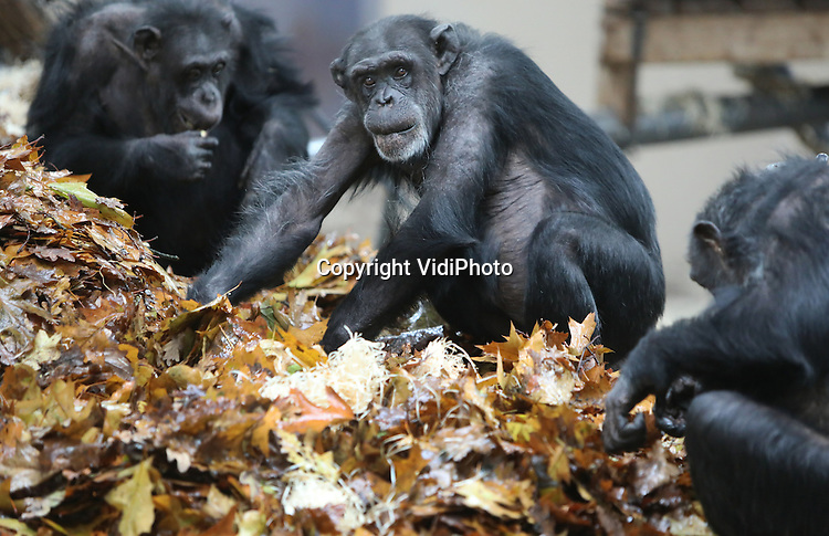Foto: VidiPhoto<br /> <br /> ARNHEM - Chimpansees van Burgers' Zoo genieten dinsdag zichtbaar in hun binnenverblijf van een enorme berg herfstbladeren, met daarin verstopt allerlei zaadjes. Zonder dat ze er zich van bewust zijn worden ze scherp in de gaten gehouden door gedragsdeskundigen. Hun gedrag is namelijk een belangrijke graadmeter. In veel Europese dierenparken worden op dit moment nieuwe, raszuivere, chimpansees ge&iuml;ntroduceerd. Er wordt vanaf nu alleen nog maar gefokt met de zogenoemde West-Afrikaanse ondersoort. Sinds dit jaar is het door verbeterd dna-onderzoek mogelijk om deze grootste groep te onderscheiden van andere kleinere ondersoorten. Door met de grootste ondersoort te fokken er is de minste kans op inteelt. De niet-raszuivere chimps krijgen anti-conceptie of er volgt sterilisatie. Vanuit diverse Europese dierentuinen komen nu West-Afrikaanse chimpansees naar de Arnhemse dierentuin. Inmiddels zijn vier verschillende groepen al samengevoegd tot twee. Wanneer ze &eacute;&eacute;n chimpanseegroep gaan vormen is afhankelijk van het onderlinge gedrag en de introductie van nog twee nieuwe chimpansees komend voorjaar. Het onderlinge eetgedrag rond de herfstbladeren vormt dinsdag daarom een belangrijk ijkpunt.