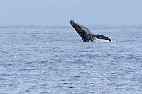 Humpback whale breaching near Maui.