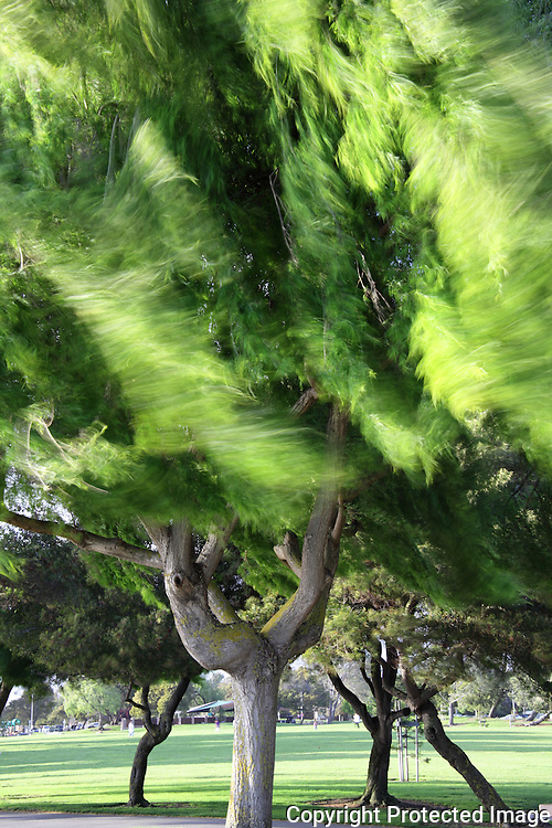 Wind whips leaves and branches to and fro, while sturdy limbs and trunk hold fast.