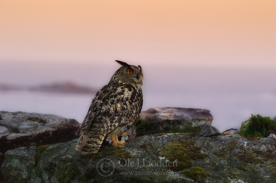 Eurasian Eagle-owl in Norway
