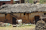 South America, Bolivia, Pariti. Calf on farm on Pariti Island.