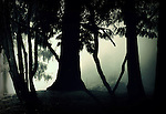 Silhouette of trees with mist