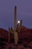 Saguaro Cactus, Carnegiea gigantea, and prickly pear cactus, Saguaro National Park, Tucson, Arizona, USA