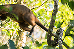 Jumping Lumholtz's Tree-kangaroo (Dendrolagus lumholtzi) high up on a tree.  The Lumholtz's tree-kangaroo is primarily a leaf eater, but also occasionally consumes fruits and flowers from quite a wide variety of native rainforest trees. It is also known to feed on the leaves of wild tobacco and lantana, both invasive weeds. A heavy-bodied tree-kangaroo is found in rain forests of the Atherton Tableland.  Its status is classified as least concern by the IUCN, although local authorities classify it as rare. It is named after the Norwegian explorer Carl Sofus Lumholtz. It is the smallest of all tree-kangaroos, with males weighing an average of 7.2 kg (16 lbs) and females 5.9 kg (13 lbs).[5] Its head and body length ranges from 480–650 mm, and its tail, 600–740 mm.[6] It has powerful limbs and has short, grizzled grey fur. Its muzzle, toes and tip of tail are black.